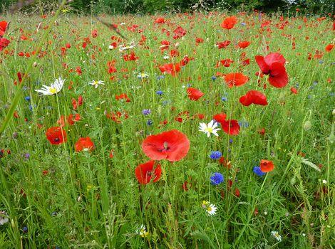 field, grass, tsety, maki, chamomile, flora