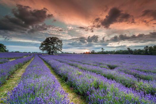 sunset, field, lavender, flowers, trees