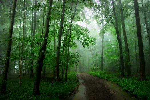 forest, trees, road, fog, landscape