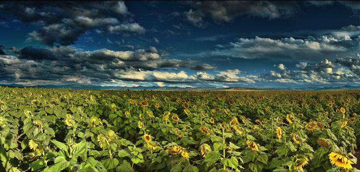 field, sunflowers, sky, clouds, landscape