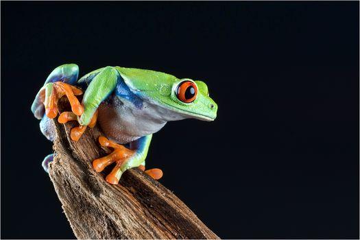 frog, Black background, macro