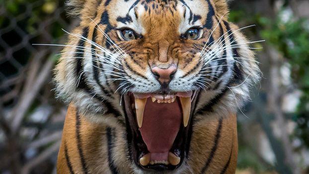tiger, predator, grin, fangs, mouth, animal