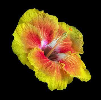 Hibiscus, Gibiskus, flower, flora