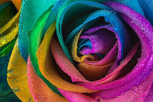 rose flower, flower, macro, drops, flora