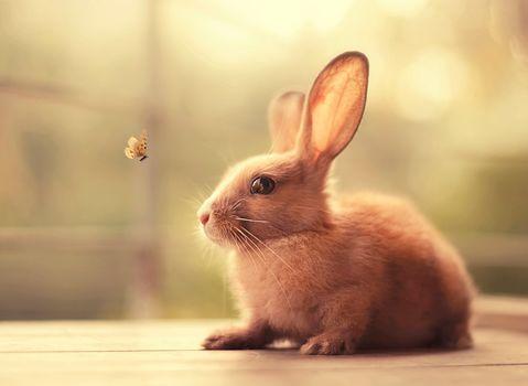 rabbit, butterfly, animal