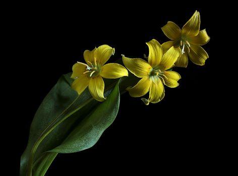 Eritronium, erythronium, flower, flora