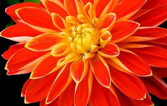 Джорджина, цветок, макрос, флора