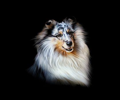 portrait, dog, Collie, collie