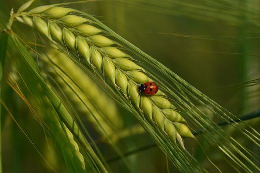 ladybug, ear, macro