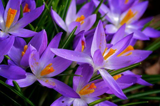 Crocus, crocuses, flowers, flora