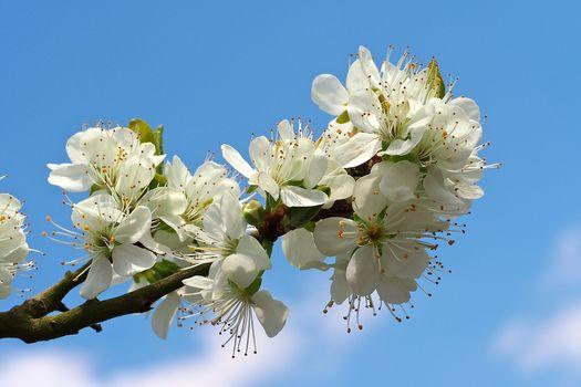 sakura, Cherry Blossoms, branch, flowers, flora, Spring, bloom