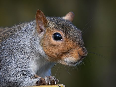 squirrel, muzzle, sight