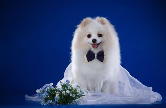 white, bow, veil, breed, nots, spitz