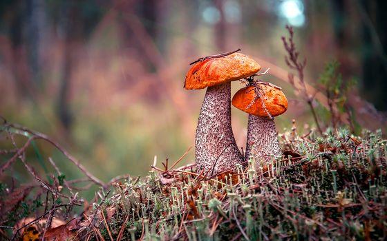 autumn, forest, mushrooms, podosynovyk