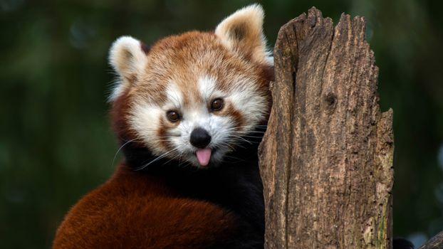 Маленький панда (16:9, 30 шт)