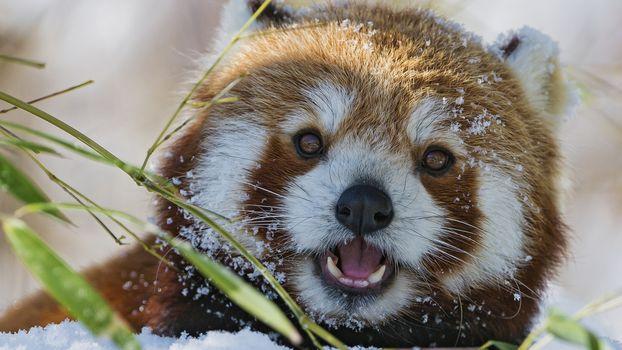panda, little panda, Red panda, animals, fauna, mordashka, fluffy, red, snow, winter