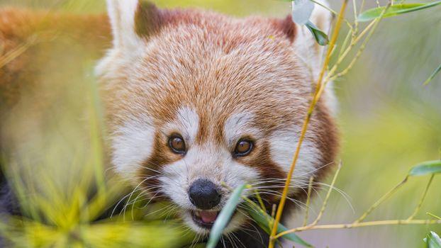 panda, little panda, Red panda, animals, fauna, mordashka, fluffy, red