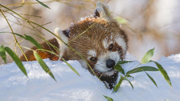 panda, little panda, Red panda, animals, fauna, mordashka, fluffy, red, winter, snow