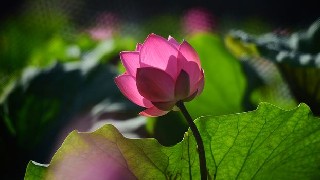 Озеро розовых лотосов (16:9, 30 шт)