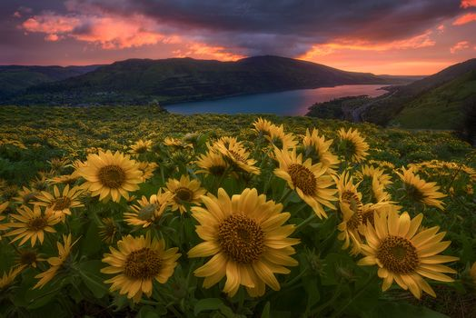 Sunrise in Oregon, the mountains, River, field, sunset, sunflowers, flowers, landscape