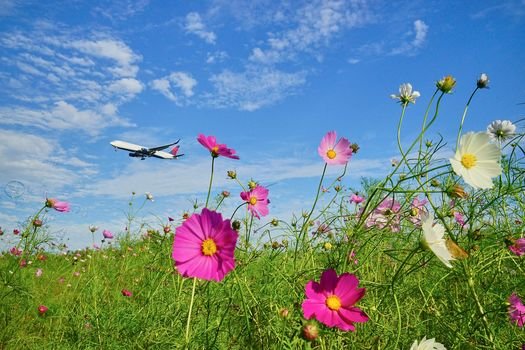 field, aircraft, flowers, Flowers of the Cosmos, space, kosmeya, flora