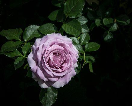 flowers, rose flower, roses, flora