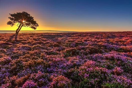sunset, field, tree, flowers, lavender, landscape