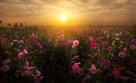 sunset, field, flowers, kosmeya, landscape
