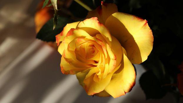 Желтая роза - эмблема печали (16:9)