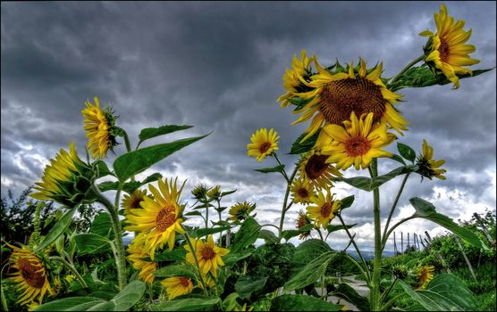 field, sunflowers, clouds, flowers, flora