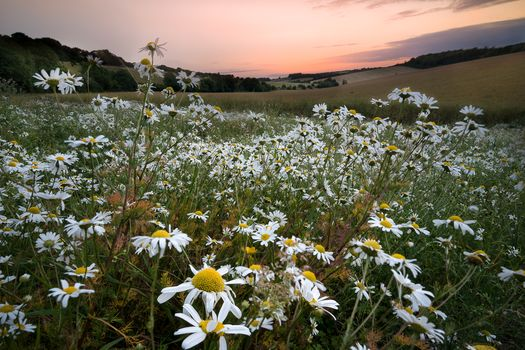 sunset, field, hills, flowers, chamomile, landscape