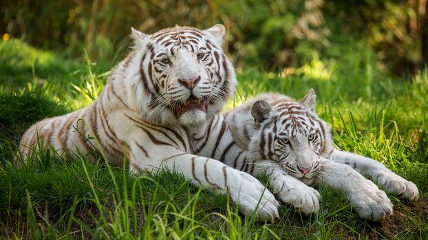 Белый тигр (16:9)
