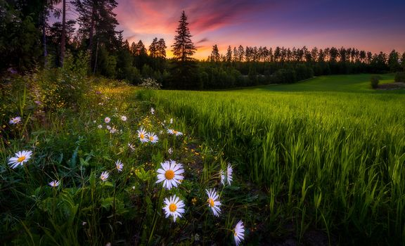 sunset, field, trees, grass, flowers, chamomile, landscape