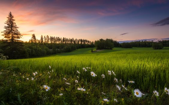 sunset, field, grass, flowers, chamomile, trees, landscape