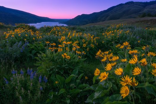 Washington, Columbia River Gorge, sunset, field, flowers, landscape