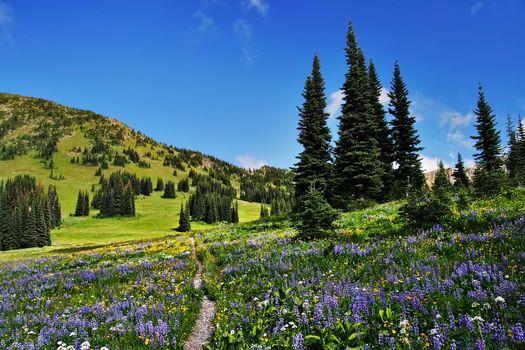 Полевые цветы вдоль Тихоокеанской тропы гребня, пустыня Пасайтен, поле, деревья, цветы, пейзаж