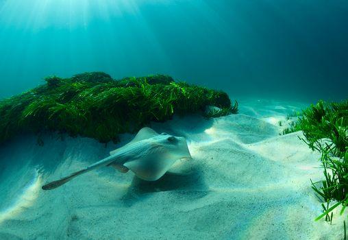 Marine life, sea, sea bottom, water, undersea world, skate