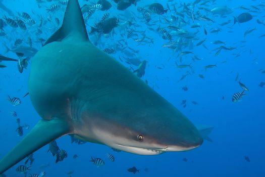 Marine life, Sharks, shark, sea, sea bottom, water, undersea world