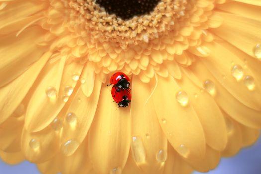 ladybug, flower, insect, macro