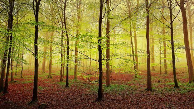 forest, trees, fog, nature, landscape