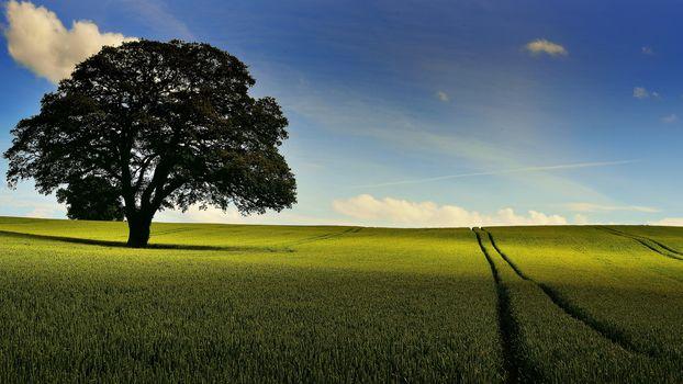 field, ears, tree, sky, landscape