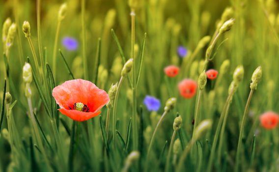 field, flowers, poppy, flora