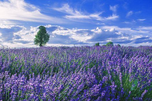field, lavender, tree, flowers, landscape