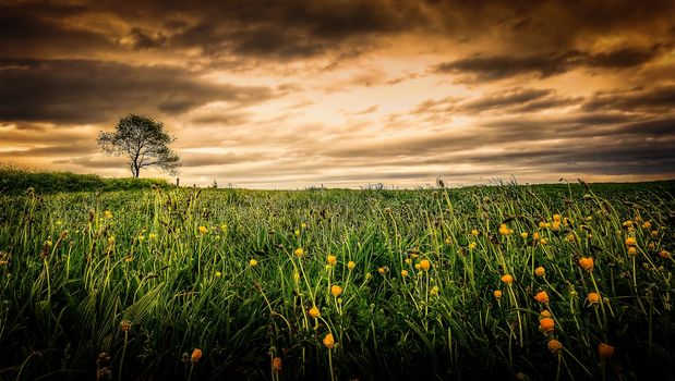sunset, field, flowers, tree, landscape