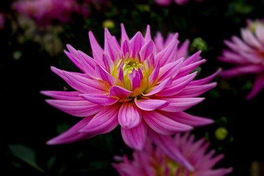 Georgina, flower, reflection, flora