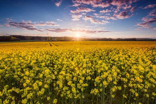 sunset, field, flowers, landscape