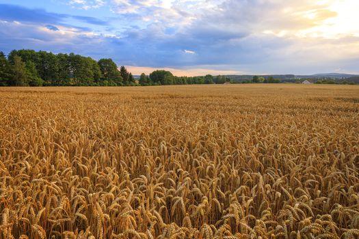 sunset, field, ears, sky, trees, landscape