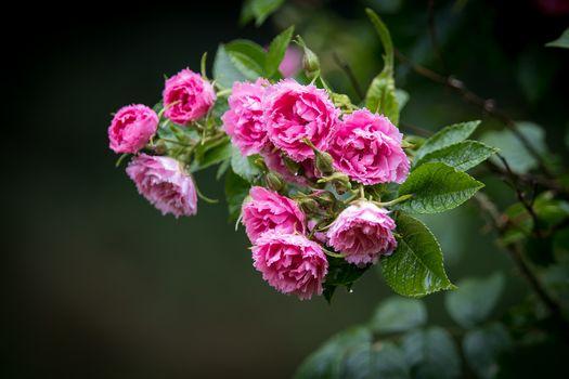 roses, rose flower, flowers, flora