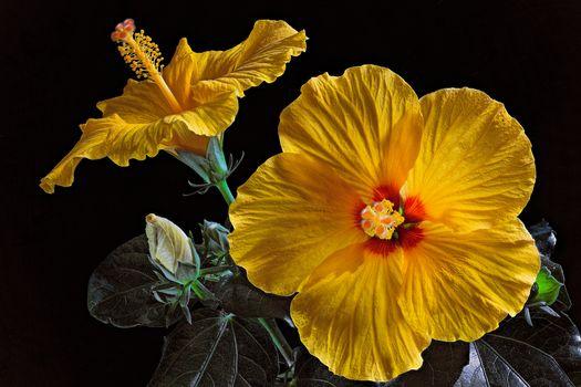 Gibiskus, Hibiscus, flower, flowers, flora