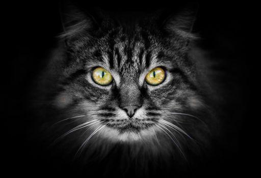 cat, cat, muzzle, sight, animal, Black background
